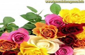 imaganes de rosas de colores